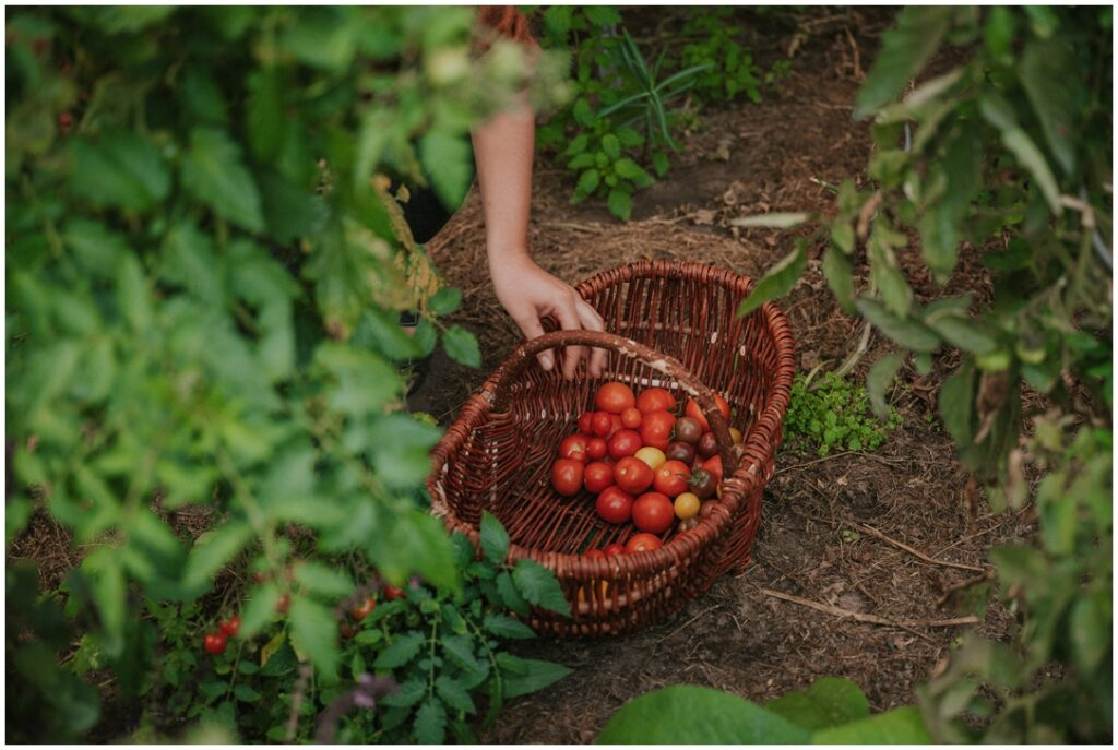 Naturlandkind | Tomatenernte